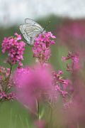 Photos - Black-veined White butterfly