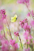 Brimstone butterfly  - pictures