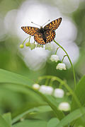 Glanville Fritillary  - pictures