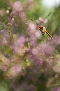 Vagrant Darter - photos, Sympetrum vulgatum