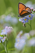 Purple-edged Copper - photography