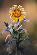 Yellow chamomile - photos, Anthemis tinctoria