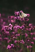 Black-veined White butterfly - picture