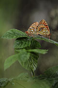 Dark Green Fritillary - nature photography