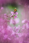 images - Glanville Fritillary