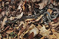 Grass snake - nature photography