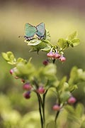 Green Hairstreak - photography