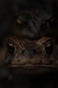 Common toad nature pictures