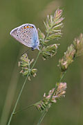 Photos - Common Blue butterfly