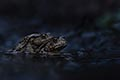 nature pictures - Common toad