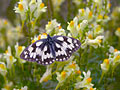 Marbled White - photos, Melanargia galathea