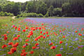 Corn poppy - photos Papaver rhoeas