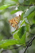 High Brown Fritillary  - pictures