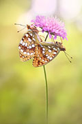 High Brown Fritillary, Argynnis adippe - photos, Argynnis adippe