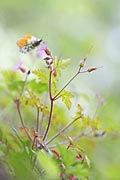 Photos - Orange Tip