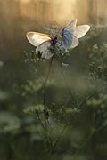 Black-veined White butterfly nature pictures
