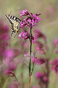 Swallowtail - photos, Papilio machaon