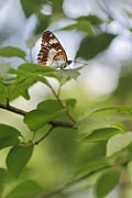 Photos - White Admiral