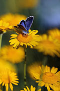 Silver-studded Blue - photos, Plebejus argus
