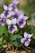 Marsh Violet - photos, Viola palustris