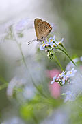 Purple-edged Copper - photos, Lycaena hippothoe