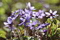 Common Hepatica  - pictures