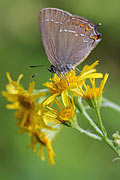 Ilex Hairstreak - photos, Satyrium ilicis
