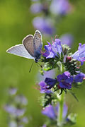 Common Blue butterfly - nature photography