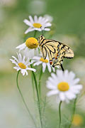 Photos - Swallowtail