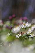 Wood anemone - photography