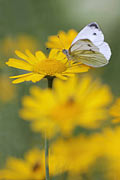 Small White, Pieris rapae
