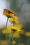 Lesser Marbled Fritillary - photos, Brenthis ino