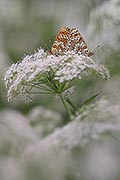 pictures - Glanville Fritillary