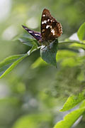 Lesser Purple Emperor - photos, Apatura ilia