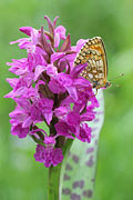 Heath Fritillary - photos, Melitea athalia