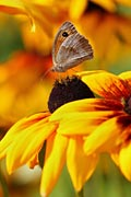 Meadow Brown - photos, Maniola jurtina