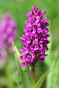 Heath Spotted Orchid - photos, Dactylorhiza maculata