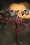 Marbled White - photography