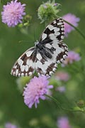 Photos - Marbled White
