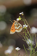Photos - Glanville Fritillary