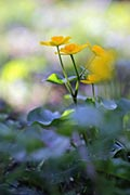 Kingcup - photos, Caltha palustris