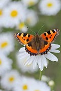 Photos - Small Tortoiseshell