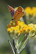 Sooty Copper - photos, Lycaena tityrus