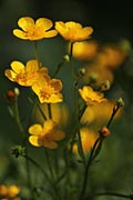 Creeping Buttercup - photos, Ranunculus repens