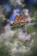 Dark Green Fritillary - photography