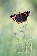Red Admiral  - pictures
