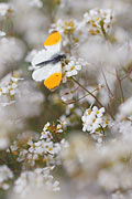 Orange Tip - nature photography