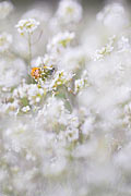 Orange Tip  - pictures