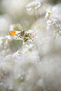 Orange Tip - photos, Anthocharis cardamines