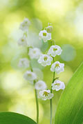 Lily of the Valley - photos, Convallaria majalis